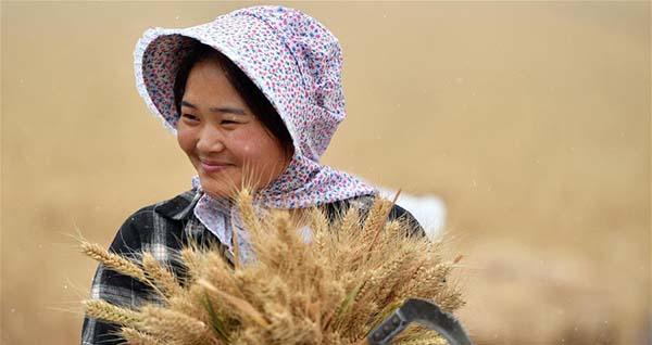 中国夏收观察丨不寻常的耕耘,不一般的收获